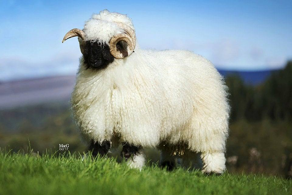 Teton Valais Blacknose Sheep Company